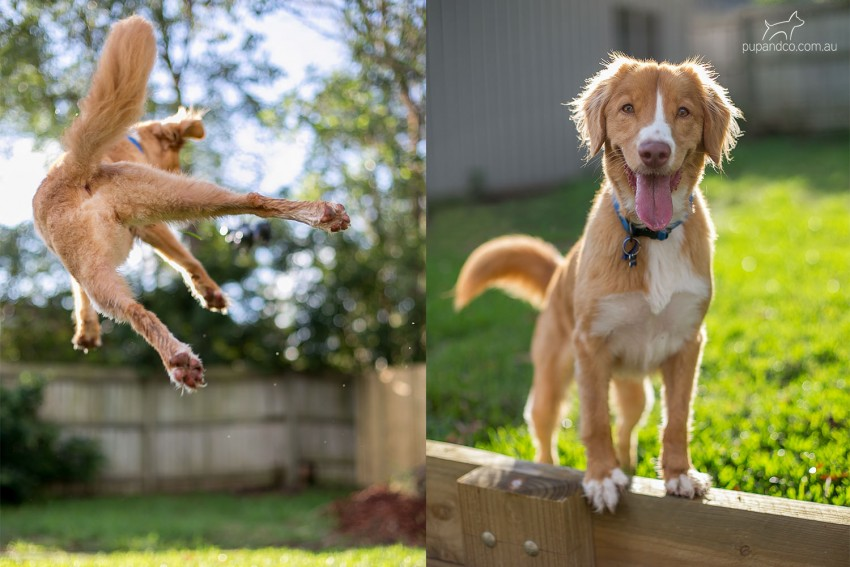 Photo of Abby, a red Nova Scotia Duck Tolling Retriever jumping after a ball and looking into the camera.