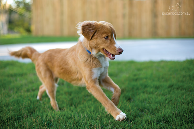 Abby, Nova Scotia Duck Tolling Retriever