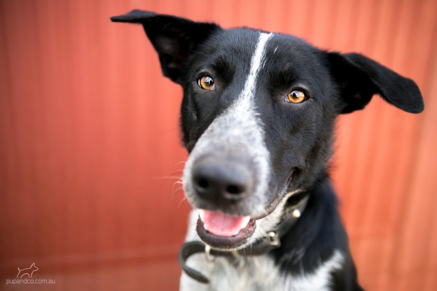 Brock, Border Collie mix