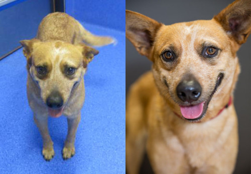 Before/After of an adoptable shelter dog Cattledog