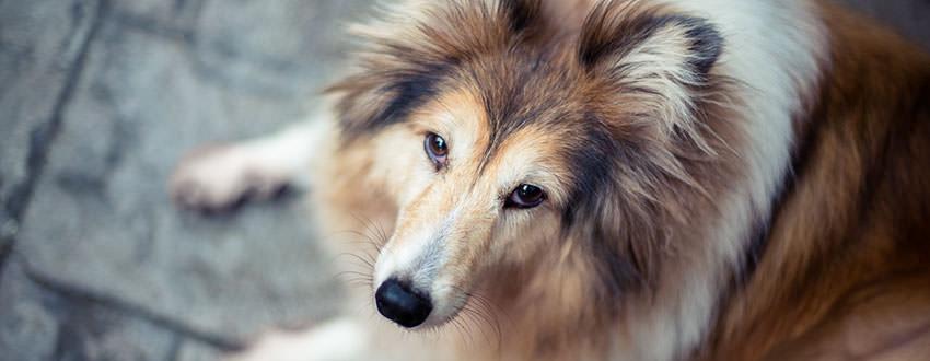Chase, Shetland Sheepdog