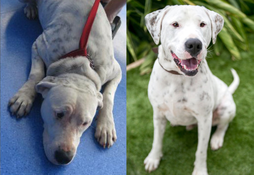 Before/After of an adoptable shelter dog