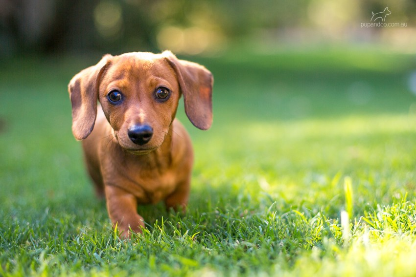 Chippa, Miniature Dachshund puppy