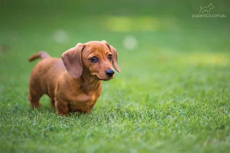 Chippa, Miniature Dachshund puppy