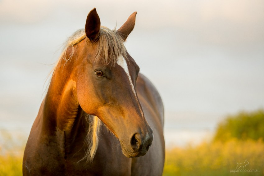 Chocolate Palomino horse in golden evening light