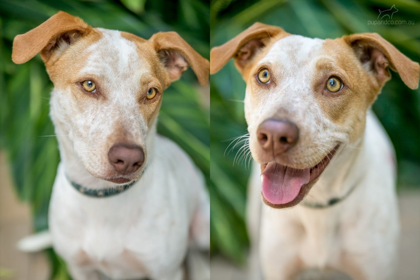 Cattledog Vizsla mix - Dog photographer Brisbane