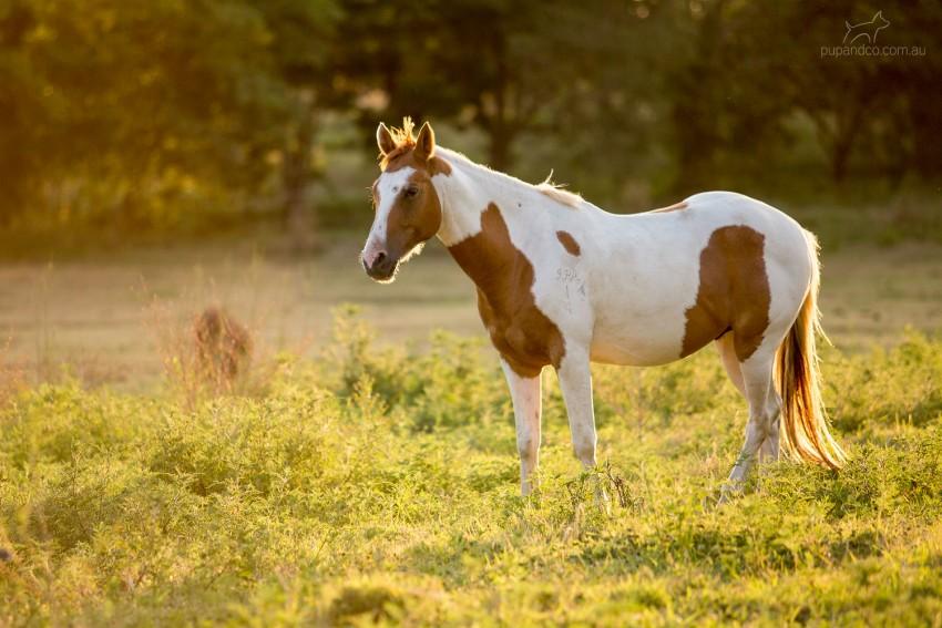 Spirit, piebald pinto pony in green paddock in golden evening light