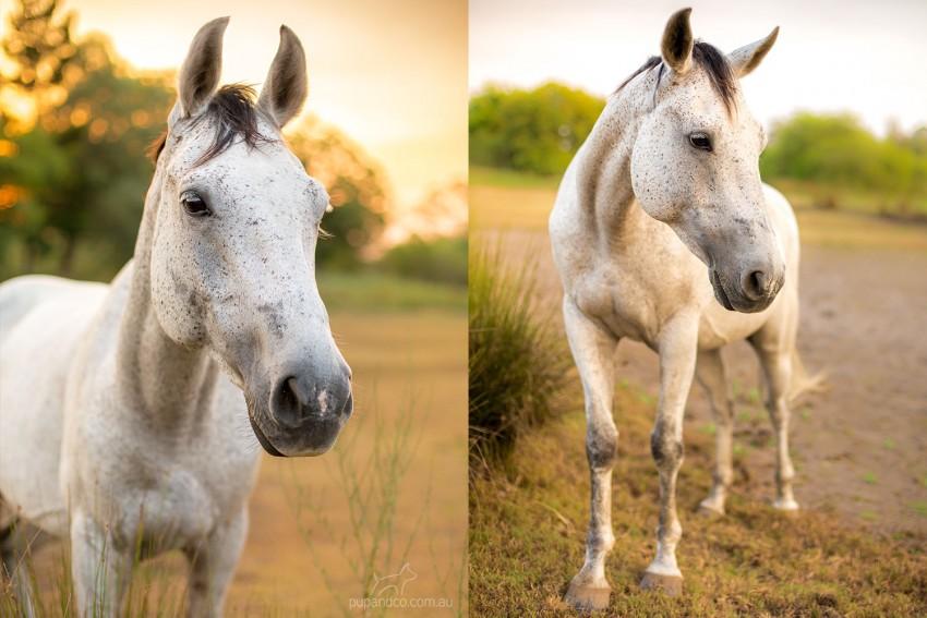 Fleabitten grey horse at sunset