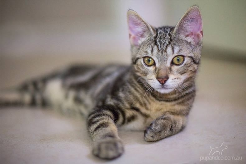 Jax, tabby kitten pet photography