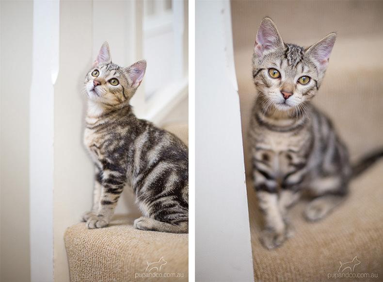 Jax, tabby kitten pet photography