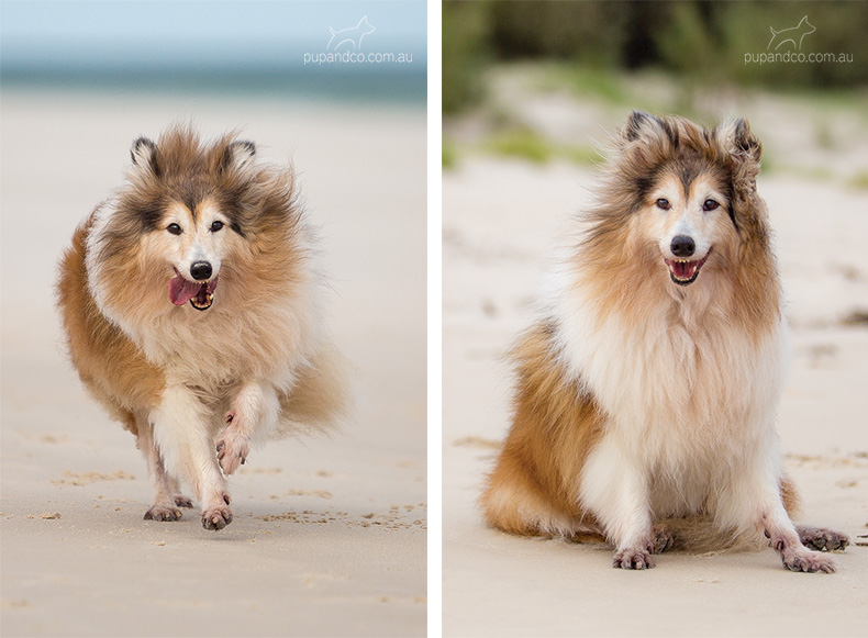 Sable Sheltie dog running on the beach