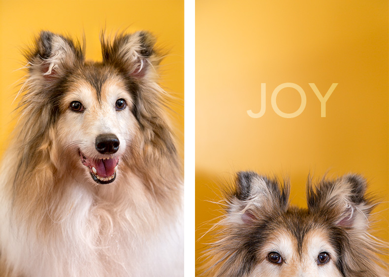 Smiling Sheltie dog against a yellow background