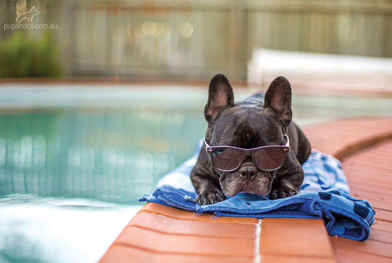 Winston the French Bulldogs relaxing by the pool