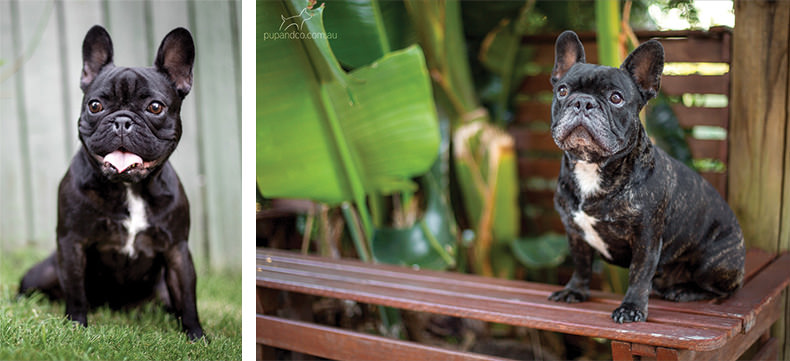 Winston and Abbey, French Bulldogs