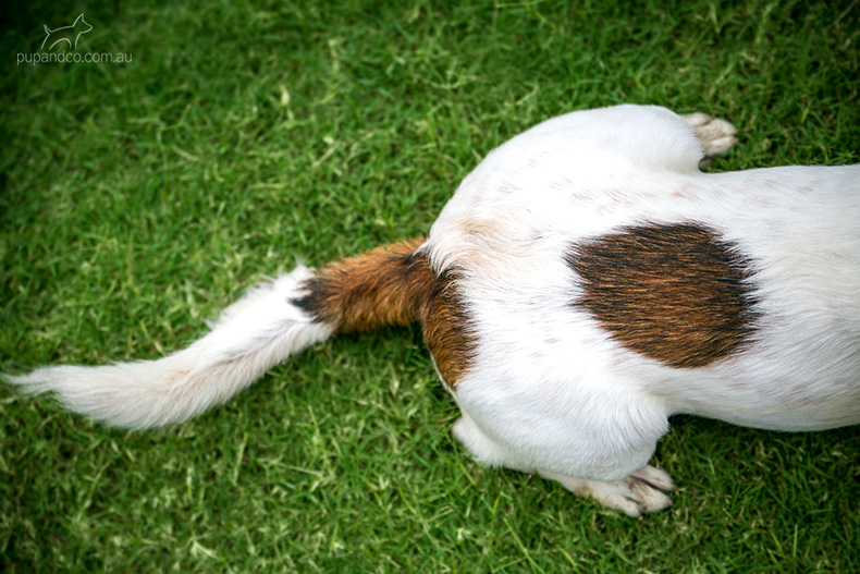 White and brown dog lying on the grass