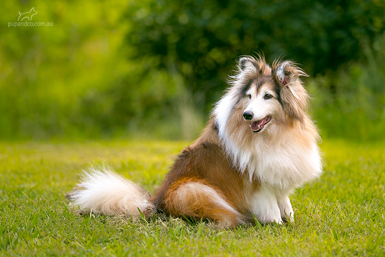 A photo of a sable Sheltie dog sitting on green grass