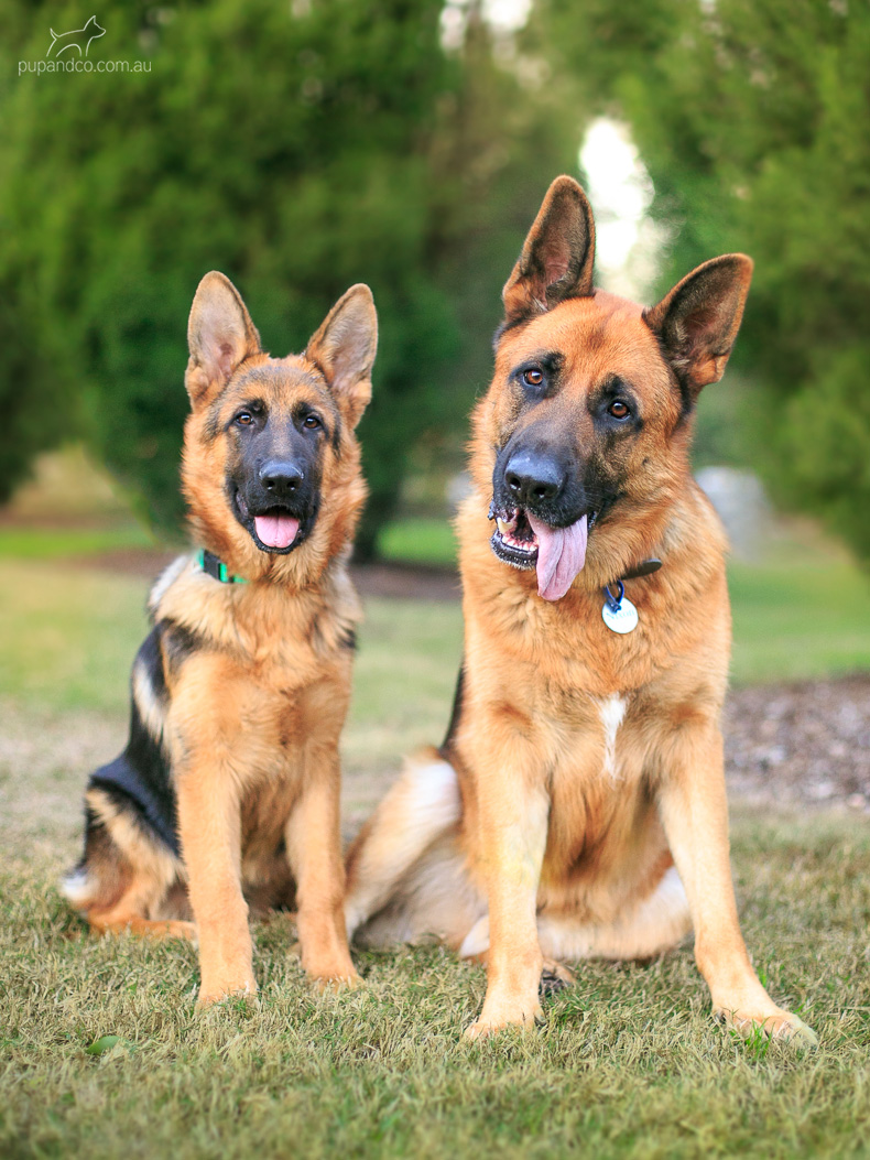 Nixon & Cash, German Shepherd Dogs