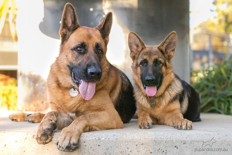Nixon & Cash, German Shepherd Dogs