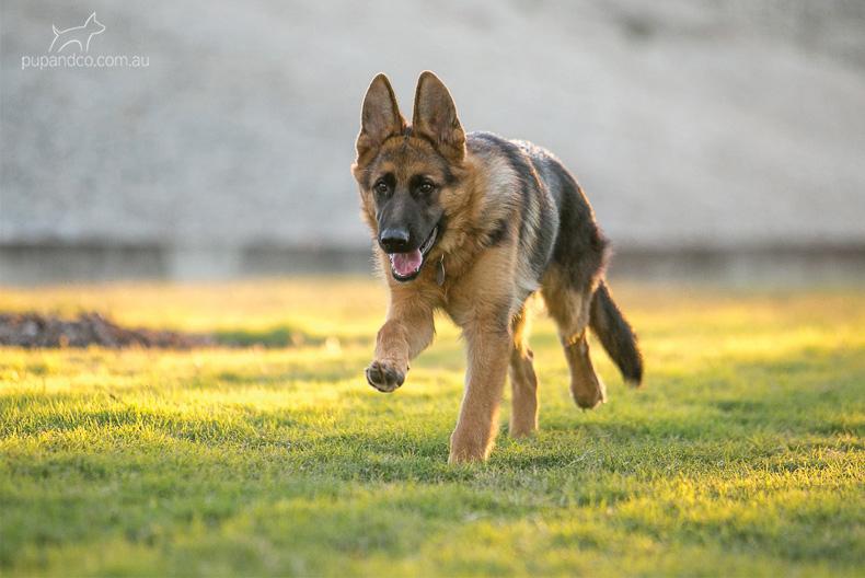 Cash, German Shepherd Dog puppy
