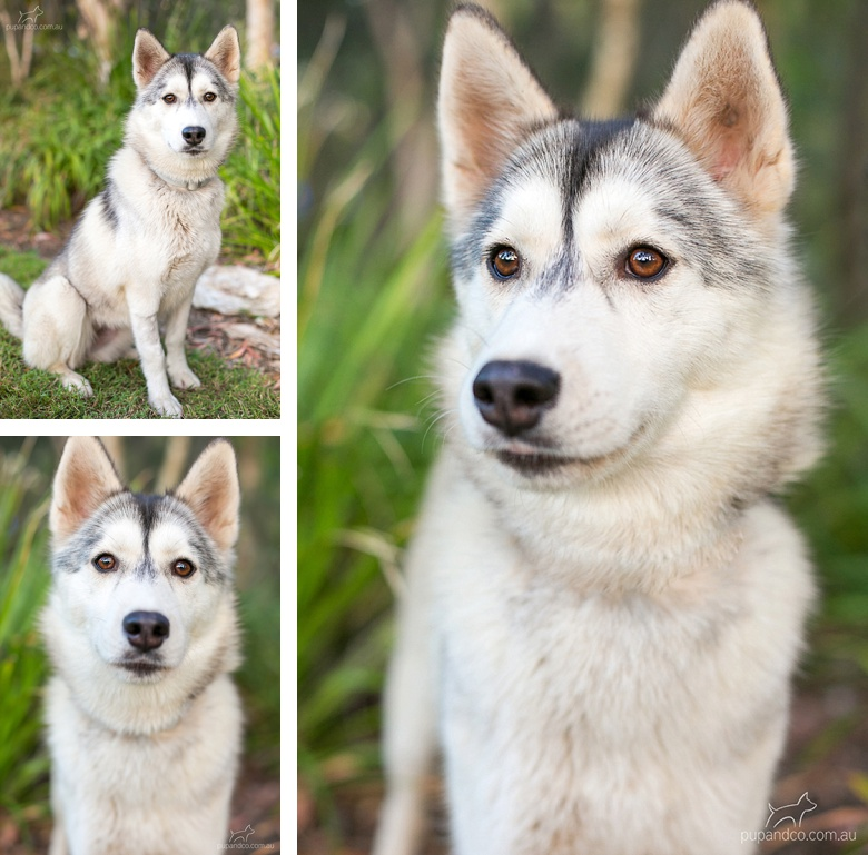 Lumi, a Siberian Husky dog available for adoption