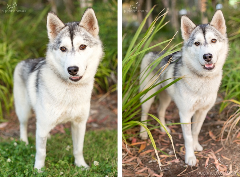 lumi_adoptable_husky_dog_