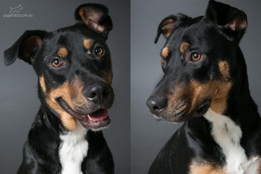 Samson, Rottweiler mix